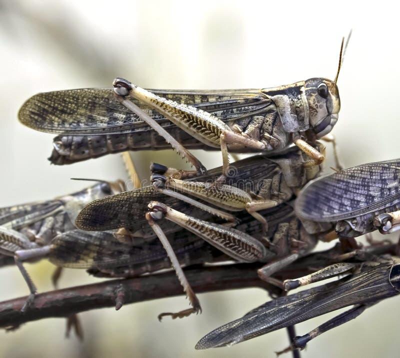 沙漠蝗虫 库存图片