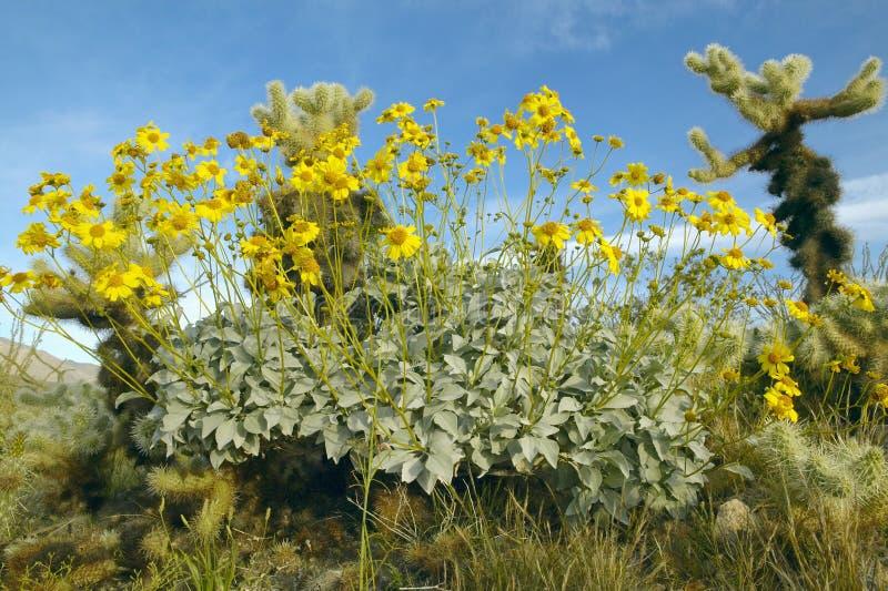 沙漠金子黄色花和仙人掌 图库摄影