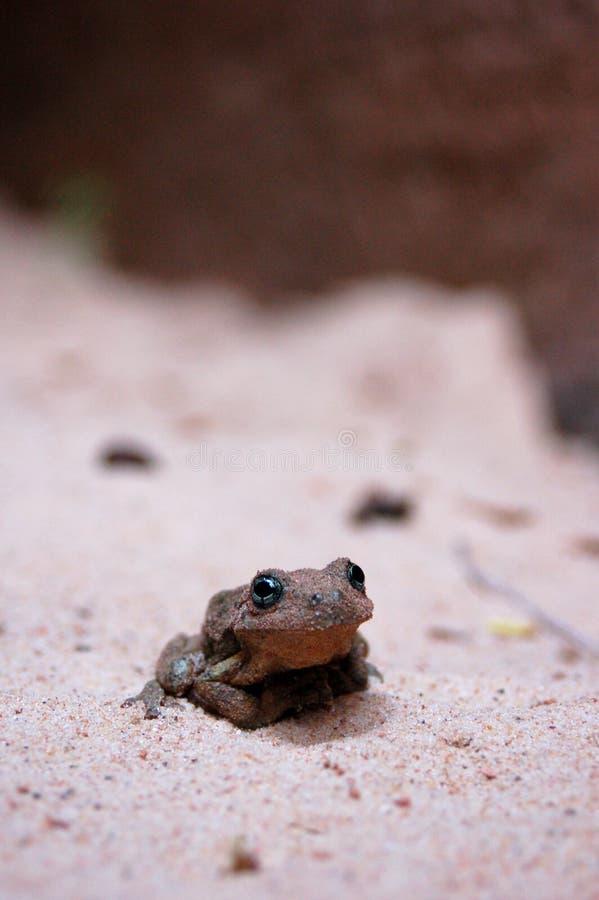 沙漠青蛙 图库摄影