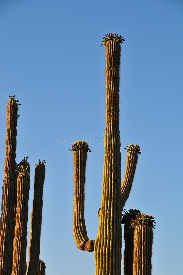 沙漠风景日落用在绽放卡内基的柱仙人掌仙人掌 免版税库存图片