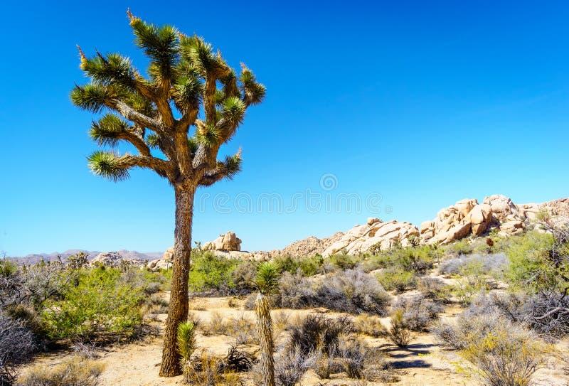沙漠风景约书亚树国家公园 图库摄影