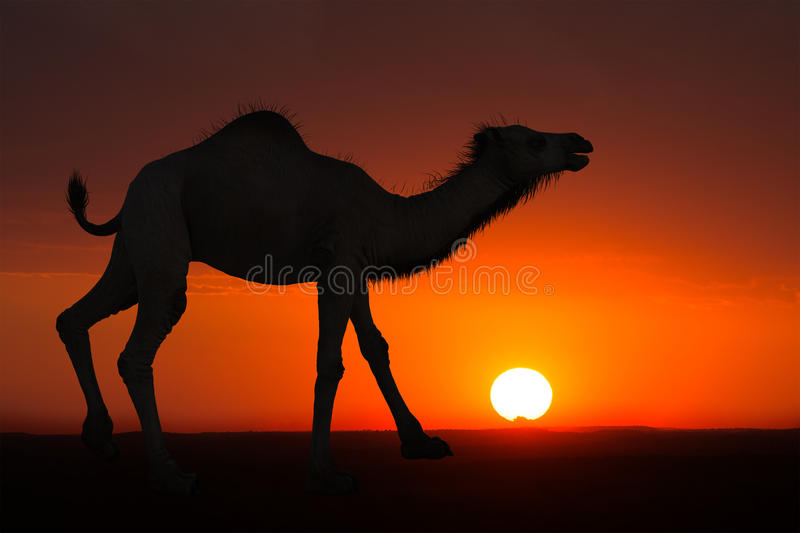 沙漠骆驼日出日落背景 库存照片