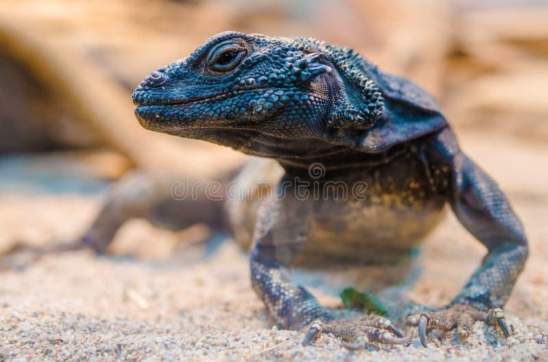 沙漠鬣鳞蜥特写镜头 库存照片