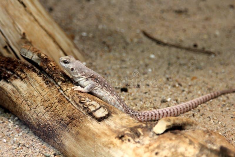 沙漠鬣鳞蜥 库存照片