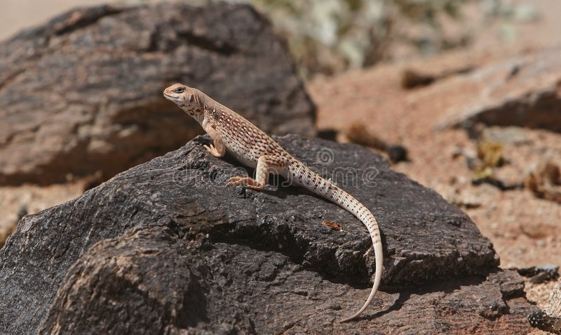 沙漠鬣鳞蜥 库存图片