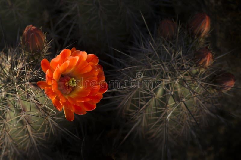 沙漠仙人掌春天花绽放 库存图片