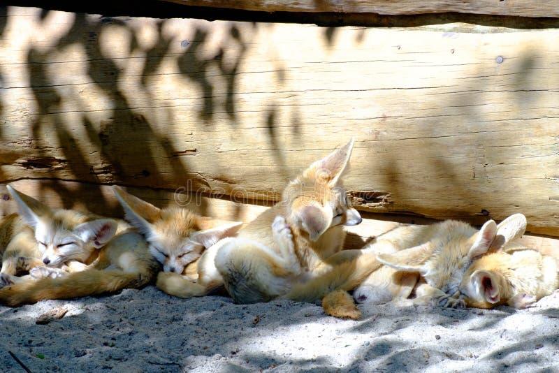 沙漠Fox睡觉在树的树荫下 免版税库存照片