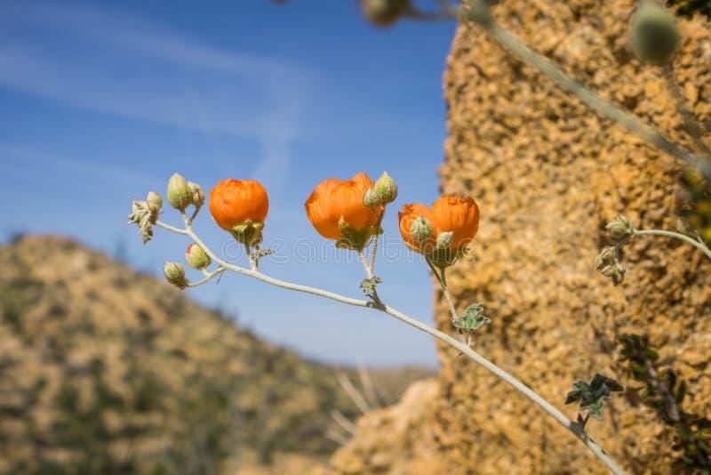 沙漠Globemallow开花在约书亚树国家公园,加利福尼亚的球形锦葵属植物ambigua 免版税图库摄影
