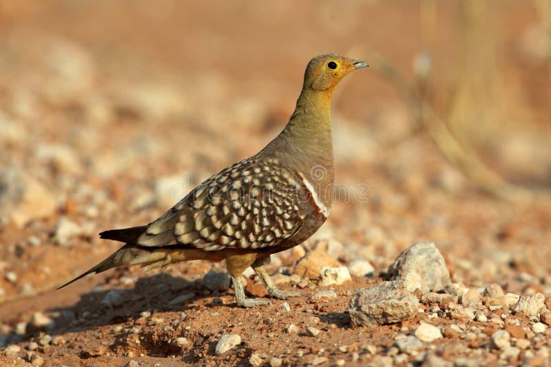 沙漠kalahari namaqua沙鸡 免版税库存图片
