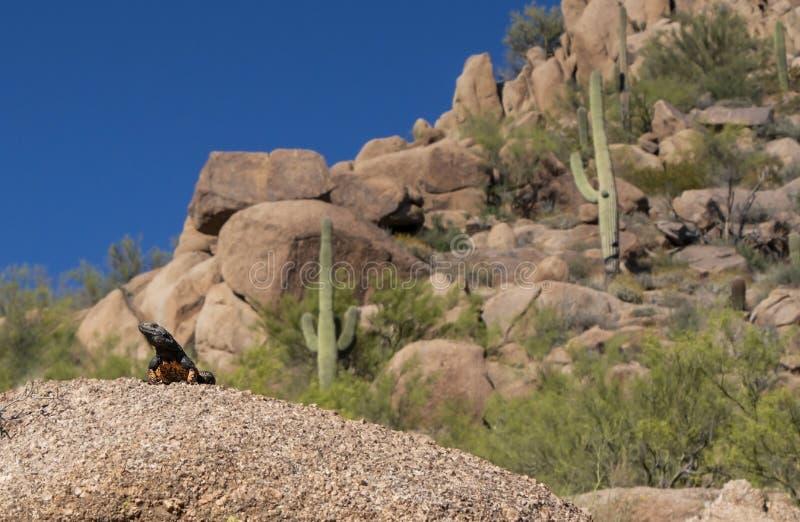 沙漠Lizzard用仙人掌和岩石在背景中 免版税库存照片