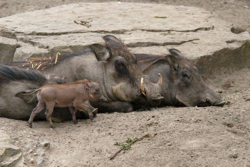 沙漠warthogs 库存图片