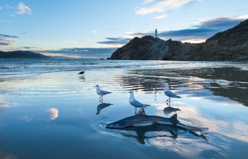 沙鲨 免版税库存照片