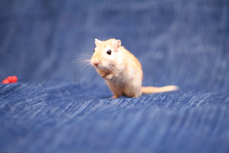 沙鼠 免版税库存图片
