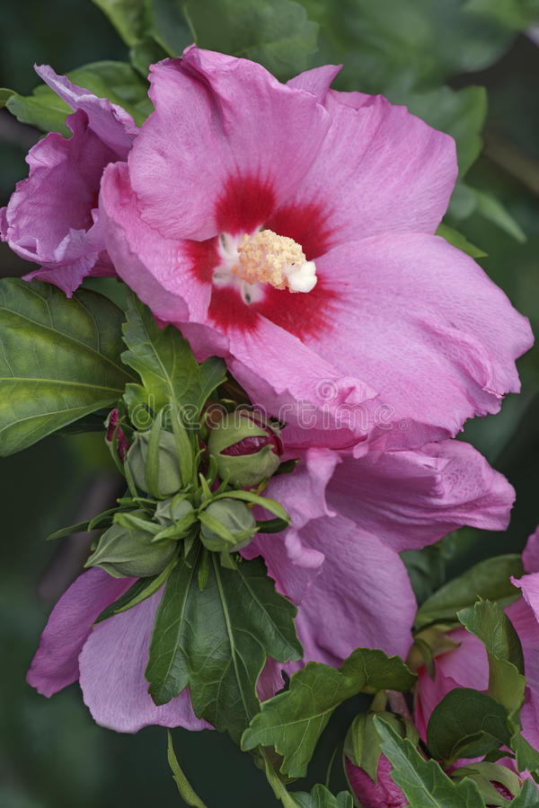 沙仑的玫瑰花花 免版税图库摄影