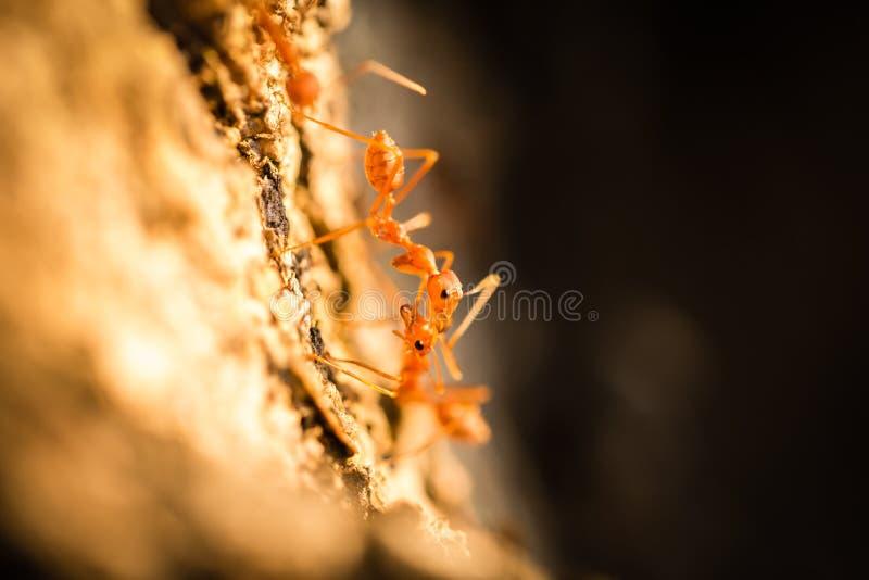 沟通在树的织布工蚂蚁 免版税库存图片