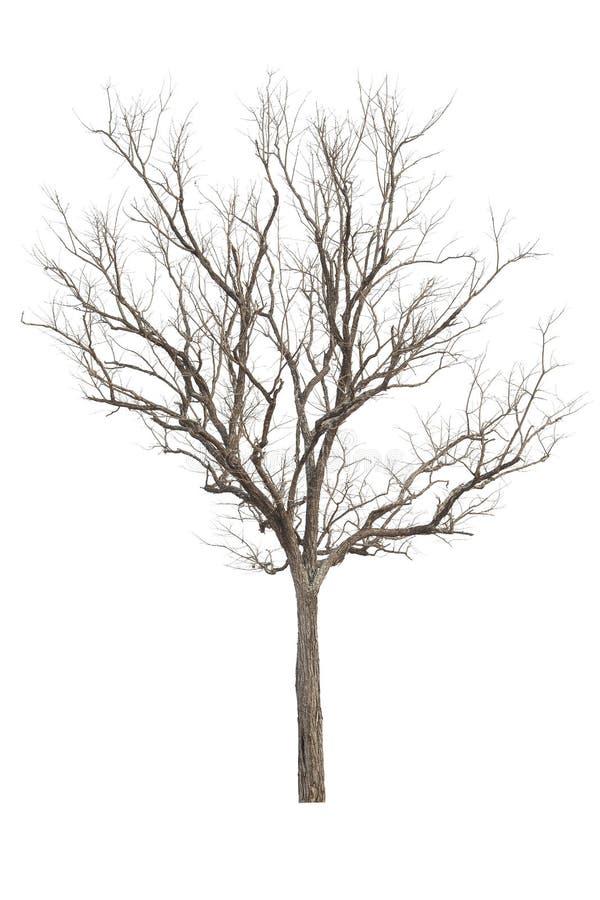 没有叶子孤立的死的树在白色机智裁减路线 库存照片
