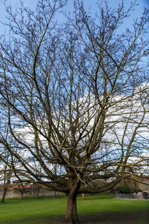 没有叶子的一棵大树在秋天 免版税库存照片