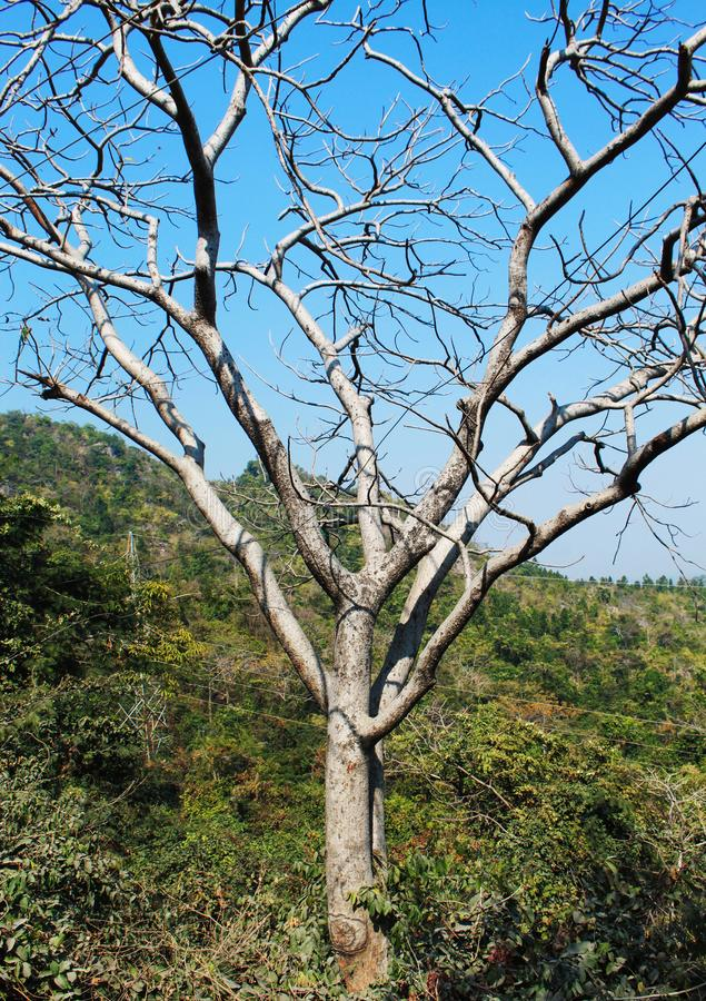 没有叶子的树在森林里 免版税库存照片