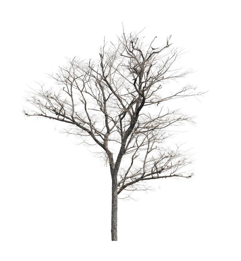 没有叶子的死的树在白色背景 免版税图库摄影