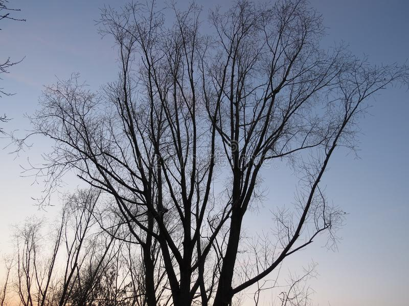 没有叶子的美丽的树在日落在秋天在俄罗斯 免版税库存照片