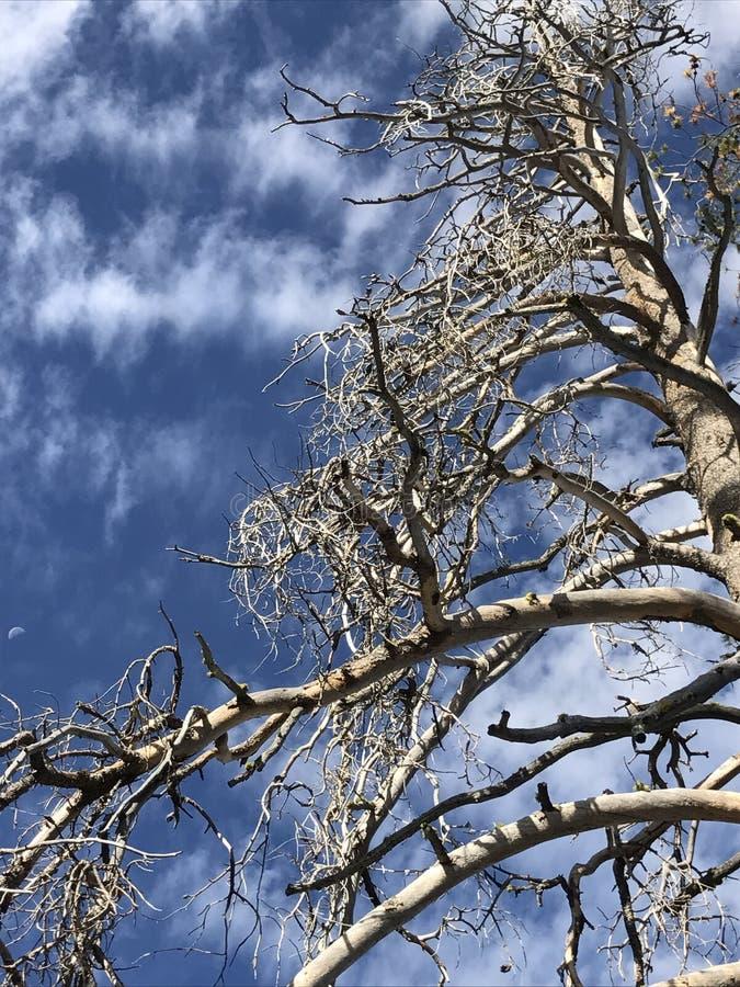 没有叶子的美丽的树 库存图片
