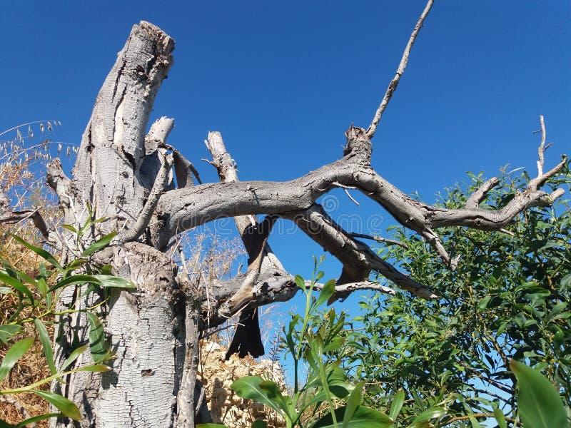 没有叶子的老干燥树 免版税库存照片