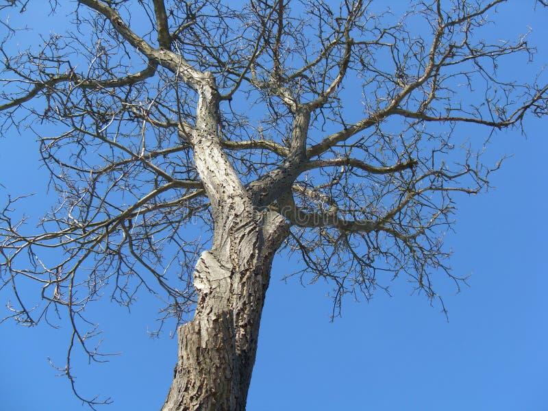 没有叶子的结构树 库存图片