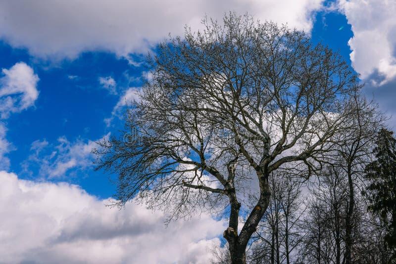 没有叶子的Bolshoi树反对天空蔚蓝 春天或秋天风景 偏僻的结构树 免版税库存图片