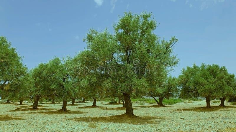没有浇灌的橄榄树 免版税库存图片