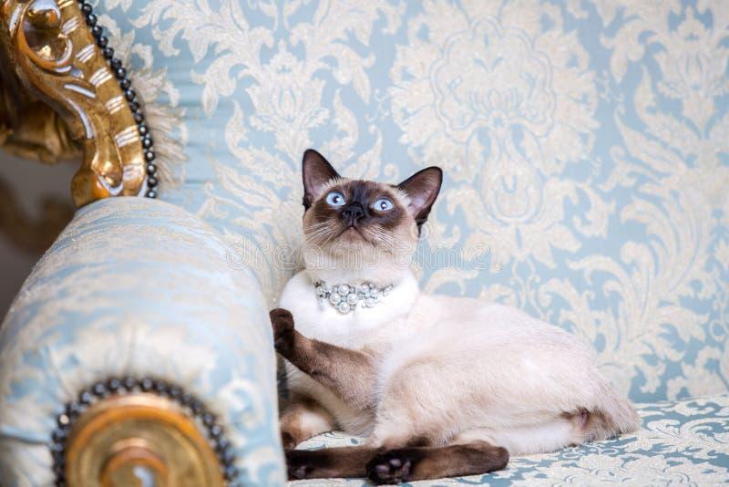 没有湄公河短尾的品种尾巴的一只两色猫与珍珠一条珍贵的项链在他的脖子上坐的珠宝的 库存照片