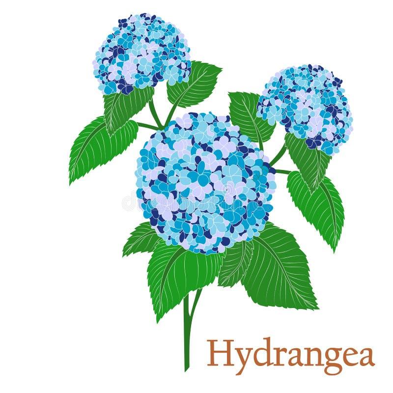 没有等高的八仙花属 一棵植物的例证传染媒介的与花用于装饰 向量例证