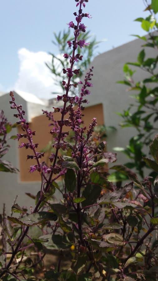 没有过滤器紫罗兰色气喘紫色植物 免版税图库摄影