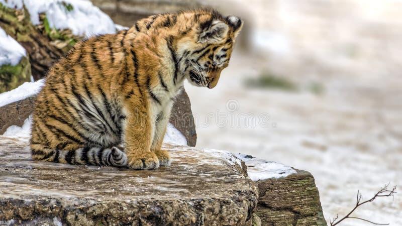 沮丧或哀伤,并且逗人喜爱的东北虎崽 免版税库存照片