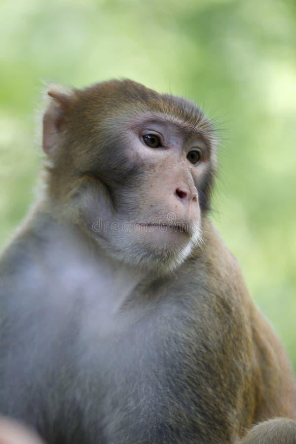 沮丧的猴子 免版税图库摄影