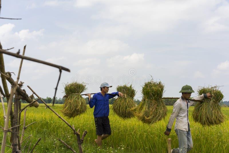 河内,越南6月7日:未认出的农夫在收获季节的米领域工作2014年6月7日在河内,越南 越南是 免版税库存图片