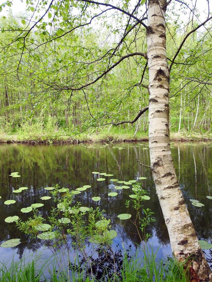 河和美丽的老桦树,立陶宛 免版税库存图片