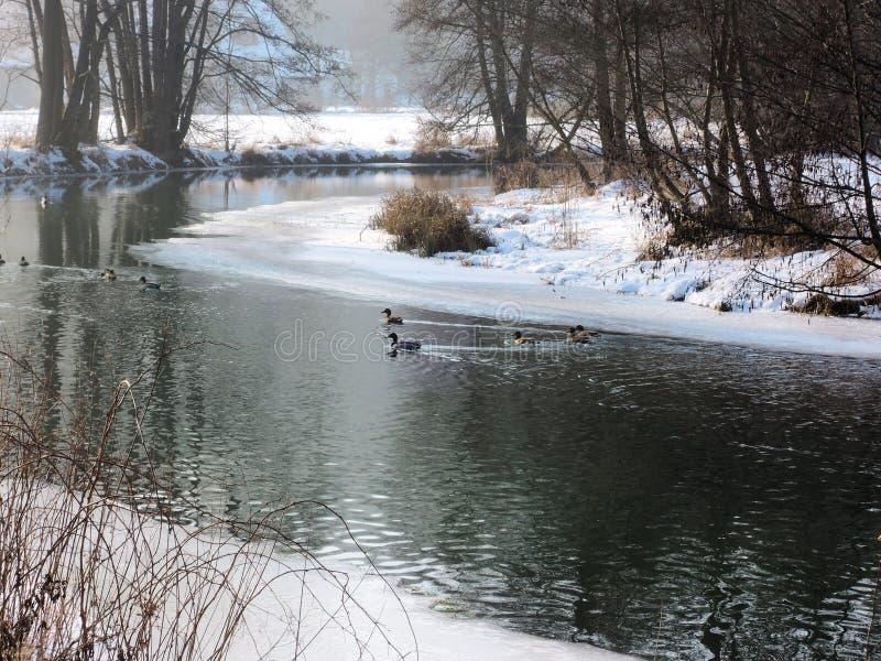 河在巴伐利亚在与鸭子的冬天 库存照片