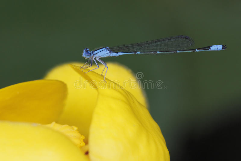河在黄色睡莲栖息的Bluet蜻蜓 库存图片