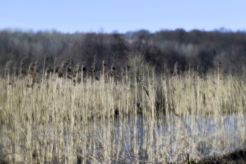 河岸的前冬天风景有芦苇panicles的在飞行的森林的背景的照片在软性被采取了 免版税库存照片
