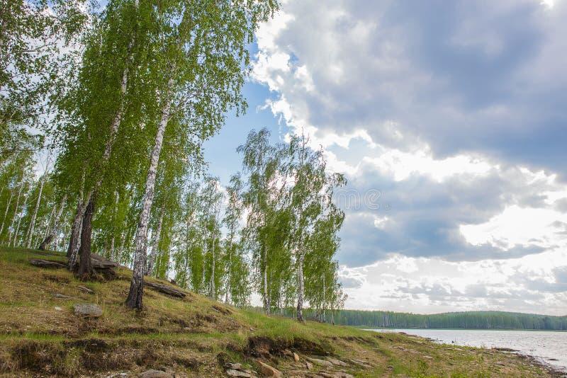 河岸的桦树森林 库存图片