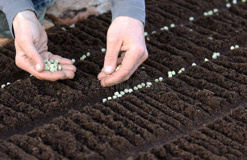 河床庭院种子植入蔬菜 库存照片