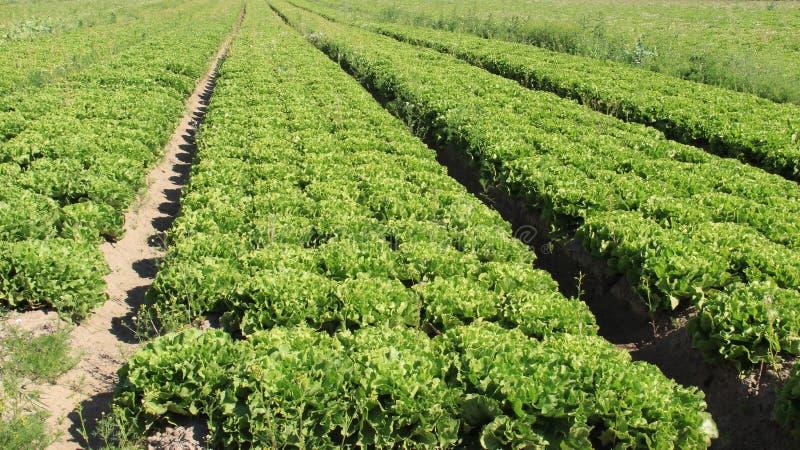 河床有机蔬菜 年轻蔬菜沙拉 库存图片