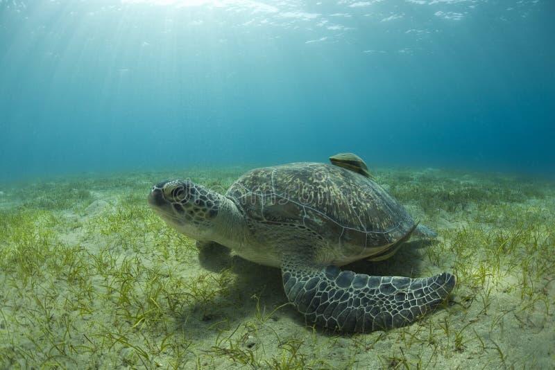 河床沙子海龟 免版税库存图片