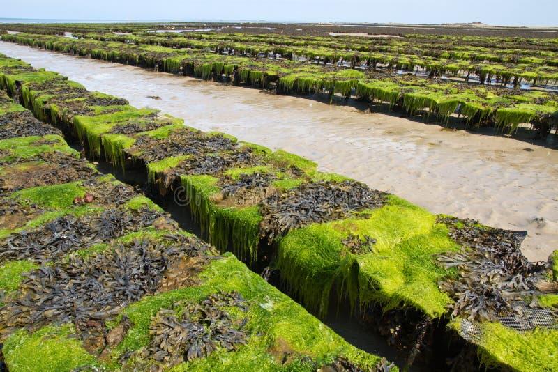 河床海岛泽西近海牡蛎英国 免版税库存照片