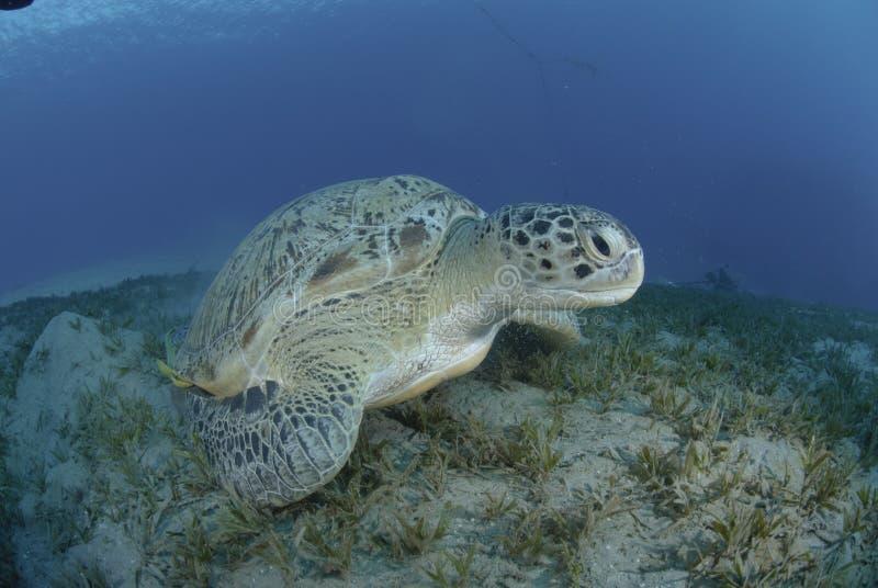河床绿色海草乌龟 库存照片