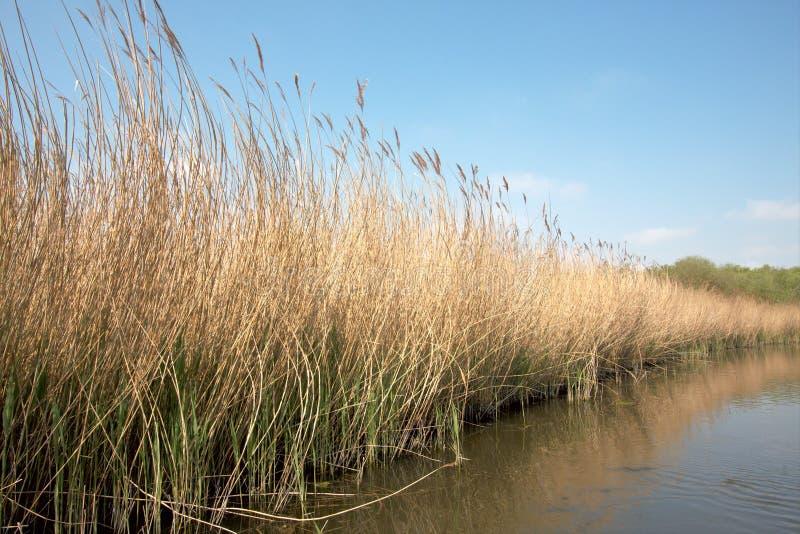 河床芦苇 免版税库存照片