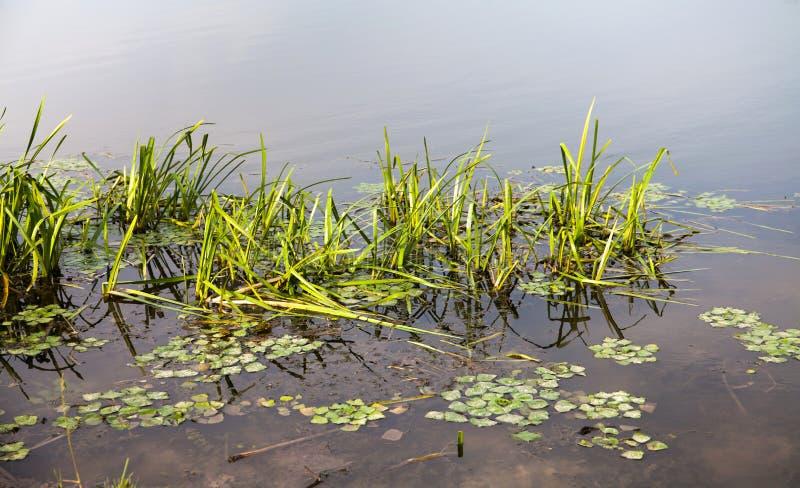 河河,一张钓鱼的海报的夏天背景的水表面上的自然植物 图库摄影