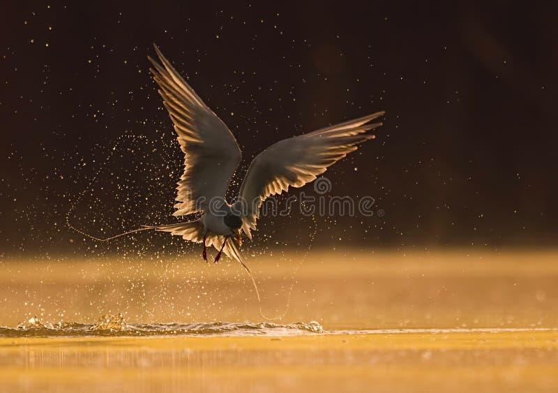 河燕鸥 免版税图库摄影