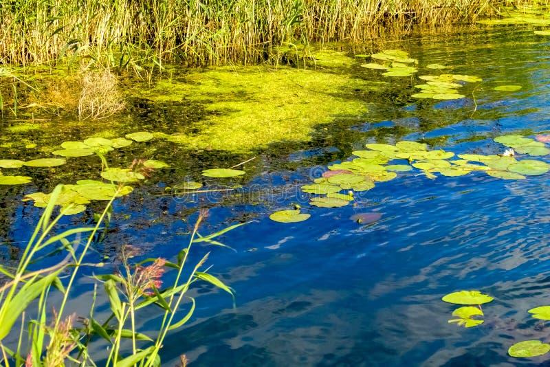 河的海湾有荷花的百合的 免版税图库摄影