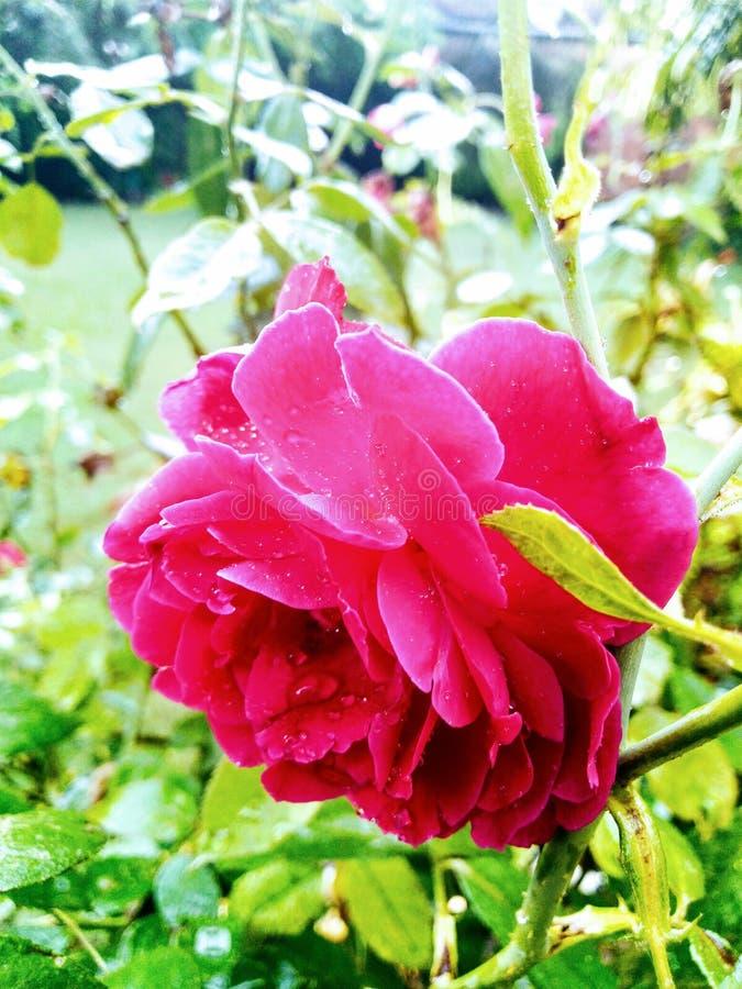 河美丽的旅行和平生活印度照片罗斯玫瑰爱生活自然美丽的花 免版税库存图片